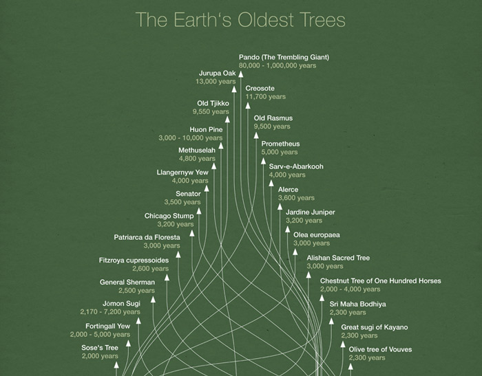 oldesttree-infographics